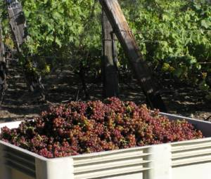 Full bin of Siegerrebe grapes at harvest